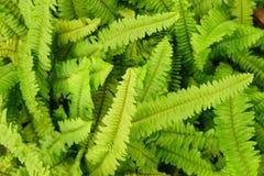 Fondo verde fresco della foglia della felce del fishbone o della spada immagine stock libera da diritti