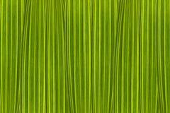 Fondo verde integrado por las hojas de la palmera en la alta ampliación foto de archivo libre de regalías