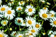 Fondo verde, muchas margaritas, la cama de flores, primer de la manzanilla Fotos de archivo