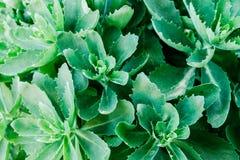 Fondo verde Fondo natural de plantas vivas Plantas con la hoja grande imagen de archivo