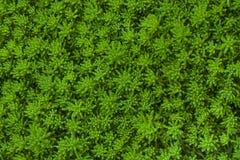 Fondo verde natural Rupestre de Sedum de la despedregadora de la planta en jardín imagen de archivo