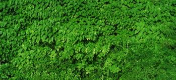 Fondo verde naturale del fogliame - panorama ad alta definizione Fotografia Stock