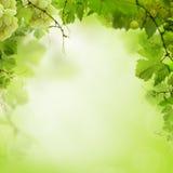 Fondo verde soleado con las vides de uva imágenes de archivo libres de regalías