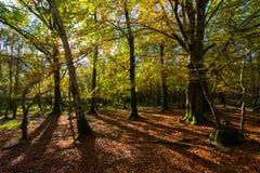 Fondo vibrante del paesaggio della foresta di autunno di luce solare immagine stock libera da diritti