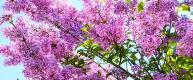 Fondo vibrante della molla con il ramo del fiore lilla vulgaris della siringa Immagini Stock Libere da Diritti