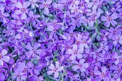 Fondo violeta de la flor de la primavera Foto de archivo