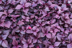 Fondo violeta de la hoja Imagenes de archivo