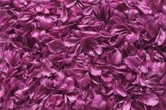 Fondo violeta de la textura de los pétalos de la flor Imagen de archivo libre de regalías