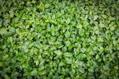 Fondo y bandera, disposición creativa de las hojas del verde hecha de licencia verde Imágenes de archivo libres de regalías