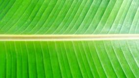 Fondo y raya de la hoja del plátano en plátano verde de la hoja foto de archivo
