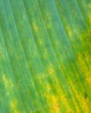 Fondo y textura abstractos de la hoja vieja del plátano fotos de archivo