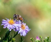 Fondo y textura del primer de la flor y de la abeja del Cineraria Fotografía de archivo libre de regalías