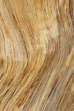 Fondo y textura - líneas de oro de la madera dura de contornos y de color Imagen de archivo libre de regalías