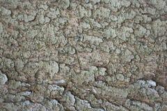 Fondos abstractos: textura de una corteza de árbol midaged de la picea ~35 años imagen de archivo libre de regalías