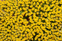Fondos amarillos de la flor Imagen de archivo