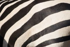 Fondos animales - camino de la cebra foto de archivo