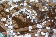 Fondos de caracter?sticas y de diversa colonia formada de bacterias y molde que crece en las placas de agar fotos de archivo