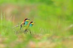 Fondos de la naturaleza - foto de dos comedores de abeja coloridos Imagen de archivo libre de regalías