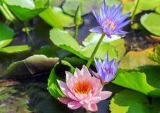 Fondos del verde de la primavera de la flor de Lotus Water Lily foto de archivo libre de regalías