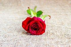 Fondos románticos de la rosa del rojo, día de madres, casandose la invitación, tarjetas del aniversario Foto de archivo libre de regalías