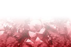 Fondos rosados frescos del modelo de flores Imagenes de archivo