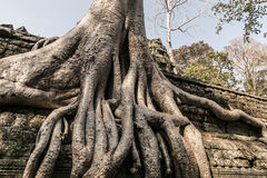 Fonds d'arbre d'Angkor Photographie stock libre de droits
