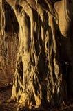 Fonds d'arbre de palétuvier Images libres de droits