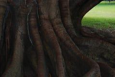 Fonds géants d'arbre Photographie stock libre de droits