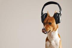 Fones de ouvido vestindo do cão feliz do basenji imagem de stock royalty free