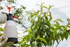 Fongicide de pulvérisation d'arbre fruitier de feuilles photographie stock
