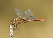 Fonscolombii de la libélula/de Sympetrum imagenes de archivo
