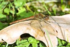 Fonscolombii de la libélula/de Sympetrum Foto de archivo libre de regalías