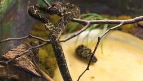 Fonsecas Lancehead orm (bothropsen Fonsecai) som slingra sig på behå arkivbilder
