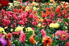 Font du jardinage les dahlias Photos libres de droits