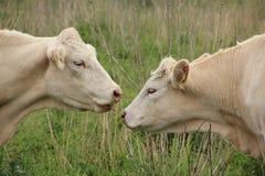 Font vous aiment ma langue ? Deux vaches, charolais dans la prairie à la campagne photos libres de droits