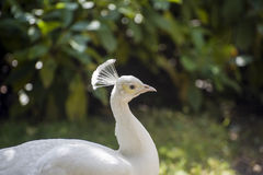 Fontainebleau - White peacock Stock Photography