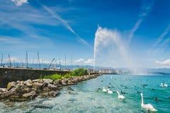 Fontana del ` UCE del getto d sul lago Leman con il gruppo di cigno e di du bianchi Immagine Stock
