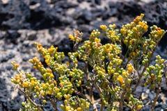 Fontanesii com o fundo das rochas vulc?nicas, flora do Zygophyllum do fontanesii de Tetraena da ilha de Tenerife, Tenerife, can?r imagens de stock