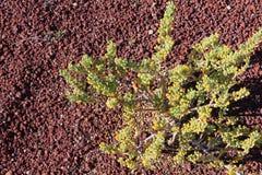 Fontanesii de Tetraena s'élevant dans la terre pierreuse rouge d'origine volcanique, Ténérife, Îles Canaries photographie stock