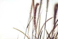 Fontanny lub piórko trawy zakończenie w górę miękkiego rocznika obrazy royalty free