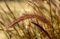 fontanny trawy purpurowy obraz stock