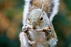 Food. Squirrel eating chicken wing left in garbage bin royalty free stock images