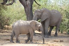 Elephant under the tree during the day time . royalty free stock photos