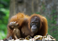 Food all over. Mother orangutan and her baby photographed in the jungle in Sabah, Borneo, Malaysia Stock Image