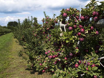 Food - apple trees Stock Image