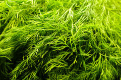 Food background - Anethum Graveolens, also known as dill. Fresh dill herb background with crisp, crude green leaves. Organic grown dill herb on a stool at the Royalty Free Stock Images