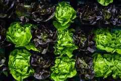 Food background - different varieties of lettuce wall display. Crisp and colorful background with different color lettuce heads, a popular vegetable among Stock Photo