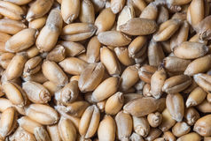 Food background. Of dried germinated grains of wheat Stock Image