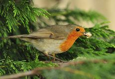 Food bearing Robin (Erithacus rubecula) Royalty Free Stock Images