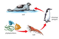 Food chain. Vector illustration of Antarctic food chain Stock Photo